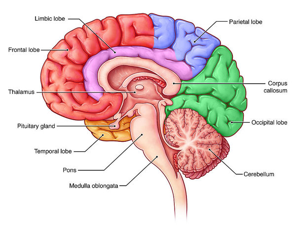 1 lobes of the brain sagittal view evan oto - ebook 12 Perguntas Sobre A Mente